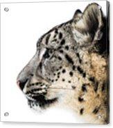 Snow Leopard Xv Acrylic Print