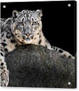 Snow Leopard Xxii Acrylic Print