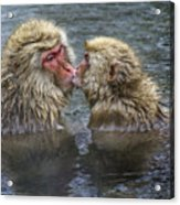 Snow Monkey Kisses Acrylic Print