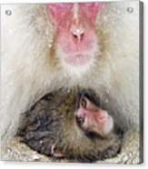 Snow Monkey Love Acrylic Print