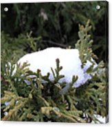 Snow On Cedar Tree Acrylic Print
