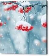 Snow On Red Berries Acrylic Print