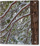 Snow On The Branches Acrylic Print