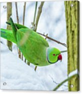 Snow Parrot Acrylic Print