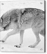 Snow Prowler Bw Acrylic Print