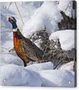 Snow Rooster Acrylic Print