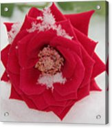 Snow Rose Acrylic Print