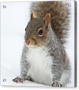 Snow Squirrel Acrylic Print