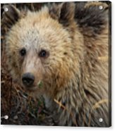 Snow The Grizzly Acrylic Print