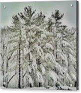 Snow Trees  Hdr Acrylic Print