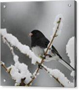 Snow Watcher Acrylic Print