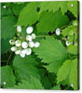 Snow White Berries Acrylic Print