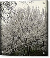 Snow White Flowering Tree Acrylic Print
