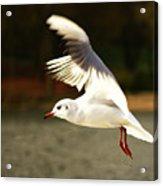 Snow White Seagull Acrylic Print