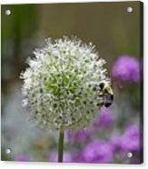 Snowball And The Bumblebee Acrylic Print