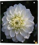 Snowball Dahlia  2 Acrylic Print