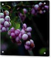 Snowberry 5191 H_2 Acrylic Print