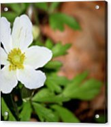 Snowdrop Anemone Acrylic Print