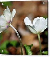 Snowdrop Anemones Acrylic Print