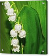 May-lily Acrylic Print