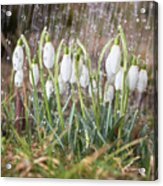Snowdrops In The Garden Of Spring Rain 1 Acrylic Print