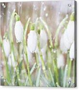 Snowdrops In The Garden Of Spring Rain 4 Acrylic Print