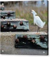 Snowy Egret #2 Acrylic Print