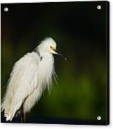 Snowy Egret 4 Acrylic Print