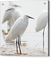Snowy Egret And Friends Acrylic Print