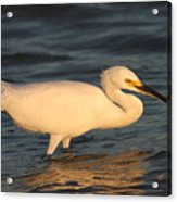Snowy Egret By Sunset Acrylic Print