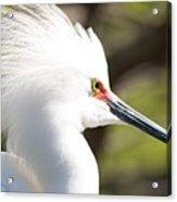 Snowy Egret Closeup Acrylic Print