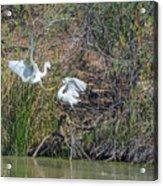 Snowy Egret Confrontation 8664-022018-1 Acrylic Print