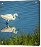 Snowy Egret Feeding  Acrylic Print