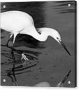 Snowy Egret Fishing Acrylic Print