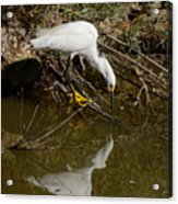 Snowy Egret Fishing From Branches Acrylic Print