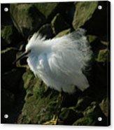 Snowy Egret Fluffy Acrylic Print
