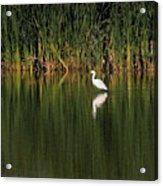 Snowy Egret In Marsh Reinterpreted Acrylic Print