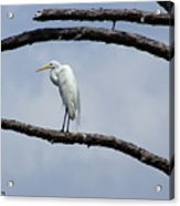 Snowy Egret In Plume Acrylic Print