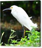 Snowy Egret In The Everglades Acrylic Print