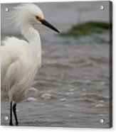 Snowy Egret In The Wind Acrylic Print