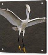 Snowy Egret Landing Acrylic Print