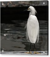 Snowy Egret Looking For Next Meal Acrylic Print