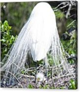 Snowy Egret Mom And Chick Acrylic Print