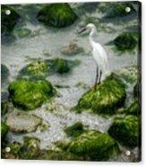 Snowy Egret On Mossy Rocks Acrylic Print