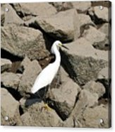 Snowy Egret On The Rocks Acrylic Print