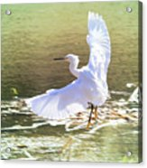 Snowy Egret Over Golden Pond Acrylic Print
