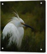 Snowy Egret Portrait Da Acrylic Print