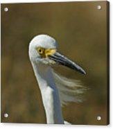 Snowy Egret Profile 2 Acrylic Print
