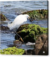 Snowy Egret  Series 2  2 Of 3  Preparing Acrylic Print