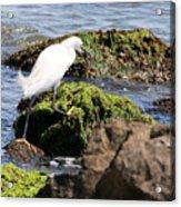 Snowy Egret  Series 2  3 Of 3  Adjusting Acrylic Print